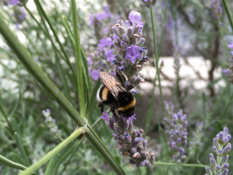 Bijen op lavendelstruik