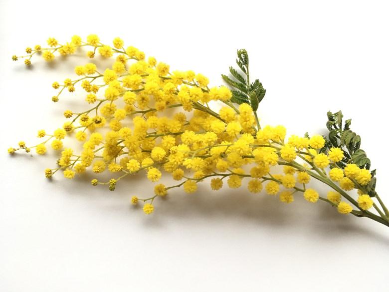 mimosa - acaciabloesem