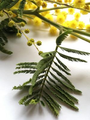 mimosablad